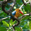 STORK-BILLED KINGFISHER <i>Halcyon capensis</i> Sabang, Palawan