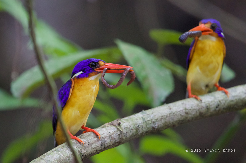 VARIABLE DWARF KINGFISHER