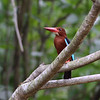 WHITE THROATED KINGFISHER <i>Halycon smyrnensis</i> Sta. Elena Golf Club, Philippines