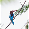 WHITE THROATED KINGFISHER <i>Halycon smyrnensis</i> PICOP, Bislig, Surigao del Sur