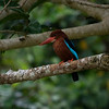 WHITE THROATED KINGFISHER <i>Halycon smyrnensis</i> Canyon Woods, Philippines