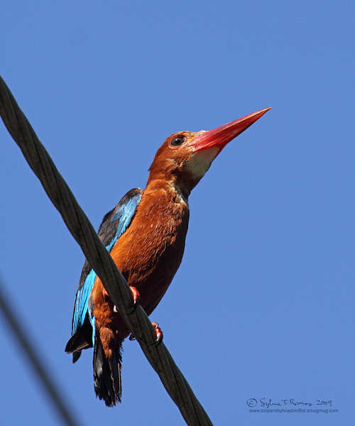 WHITE THROATED KINGFISHER <i>Halycon smyrnensis</i> Mt. Palay-Palay, Cavite, Philippines