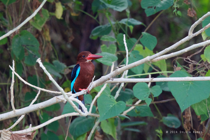 WHITE THROATED KINGFISHER <i>Halycon smyrnensis</i> Filinvest, Muntinlupa  This photo came out in the Philippine Daily Inquirer, 13 April 2014 http://newsinfo.inquirer.net/593885/behind-munti-condos-a-treat-for-birding-eyes