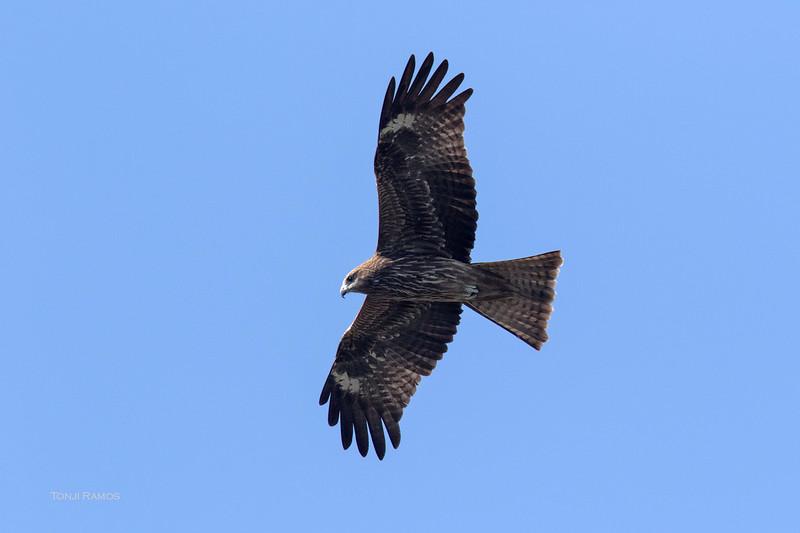 BLACK KITE <i>Milvus migrans lineatus</i> Bgy. Gabu, Laoag, Ilocos Norte