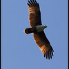 BRAHMINY KITE<i>Haliastur indus</i> Mt. Palay Palay, Cavite, Philippines