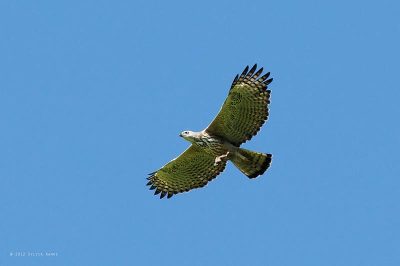 CHANGEABLE HAWK-EAGLE <i>Spizaetus cirrhatus</i> Sablayan Penal Colony, Mindoro