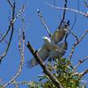 CHANGEABLE HAWK-EAGLE, immature