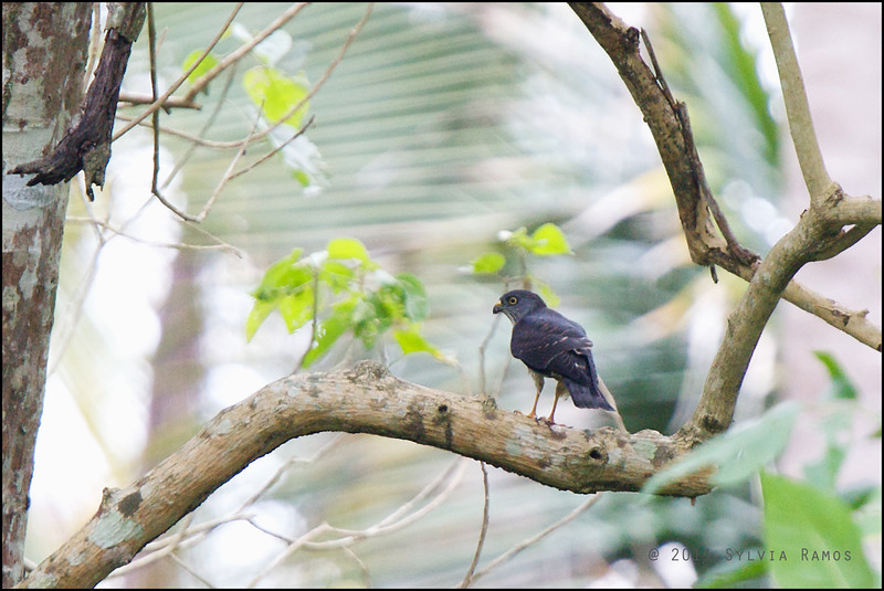 CHINESE SPARROWHAWK <i>Accipiter soloensis</i> Sibulan, Negros Oriental, Philippines