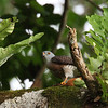 CHINESE SPARROWHAWK <i>Accipiter soloensis</i> Mt. Makiling, Laguna, Philippines