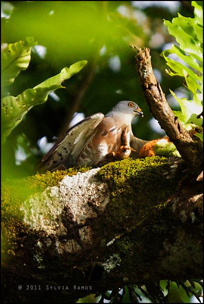 CHINESE SPARROWHAWK <i>Accipiter soloensis</i> Mt. Makiling, Laguna, Philippines