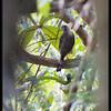 CRESTED GOSHAWK <i>Accipiter trivirgatus</i> Coron, Palawan, Philippines