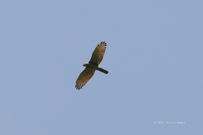 CRESTED GOSHAWK <i>Accipiter trivirgatus</i> Puerto Princesa, Palawan