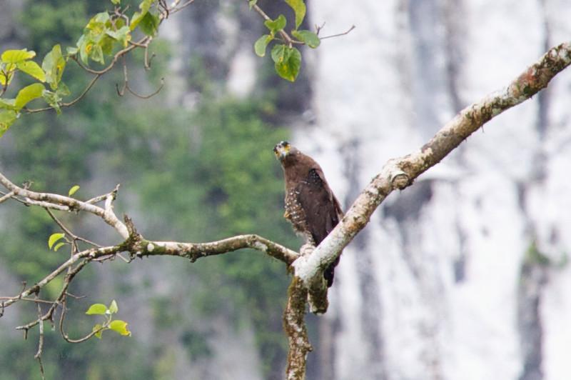 CRESTED SERPENT EAGLE <i>Spilornis cheela</i> Sabang, Palawan, Philippines