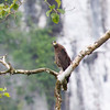 CRESTED SERPENT EAGLE <i>Spilornis cheela</i> Sabang, Palawan, Philippines