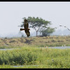 EASTERN MARSH HARRIER <i>Circus spilonotus</i> Candaba, Pampanga, Philippines