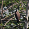 GREY-HEADED FISH EAGLE <i>Ichthyophaga ichthyaetus</i> La Mesa Dam, Quezon City, Philippines