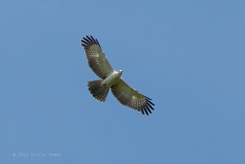 PHILIPPINE HONEY BUZZARD, juvenile <i>Pernis steeri</i>&gt; Mapawa Nature Reserve, Malasag, Cagayan de Oro
