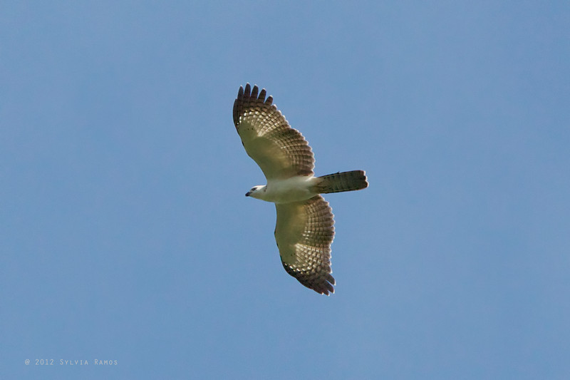 PHILIPPINE HONEY BUZZARD, juvenile <i>Pernis steeri</i>> Mapawa Nature Reserve, Malasag, Cagayan de Oro