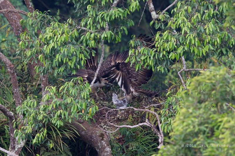 PHILIPPINE EAGLE <i>Pithecophaga jefferyi</i> Mt. Apo, Davao, Philippines  The male steps on the hatchling.