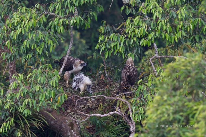 PHILIPPINE EAGLE <i>Pithecophaga jefferyi</i> Mt. Apo, Davao, Philippines  The female looks angry.