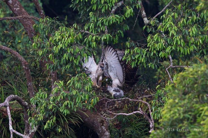 PHILIPPINE EAGLE <i>Pithecophaga jefferyi</i> Mt. Apo, Davao, Philippines  Two adults at the nest.