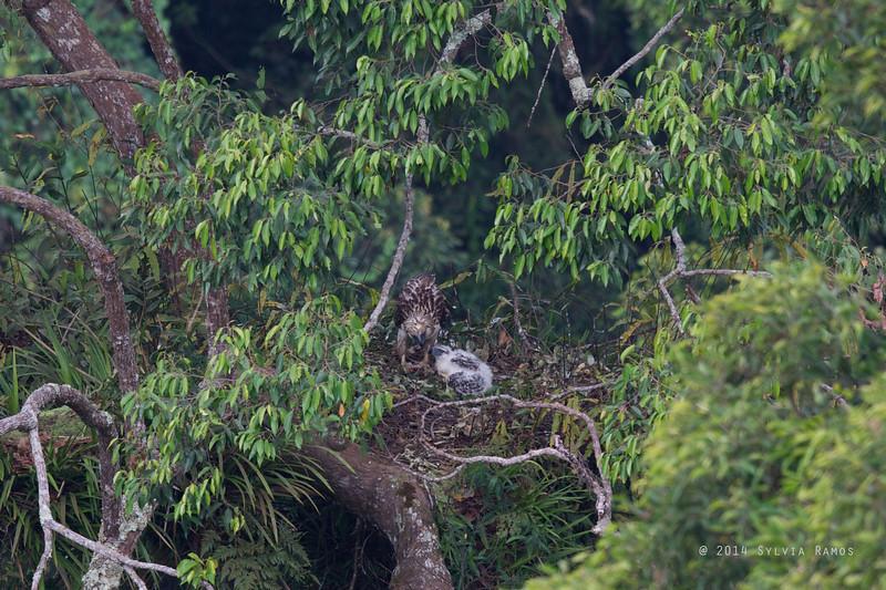 PHILIPPINE EAGLE <i>Pithecophaga jefferyi</i> Mt. Apo, Davao, Philippines  The presumed male feeds the hatchling.