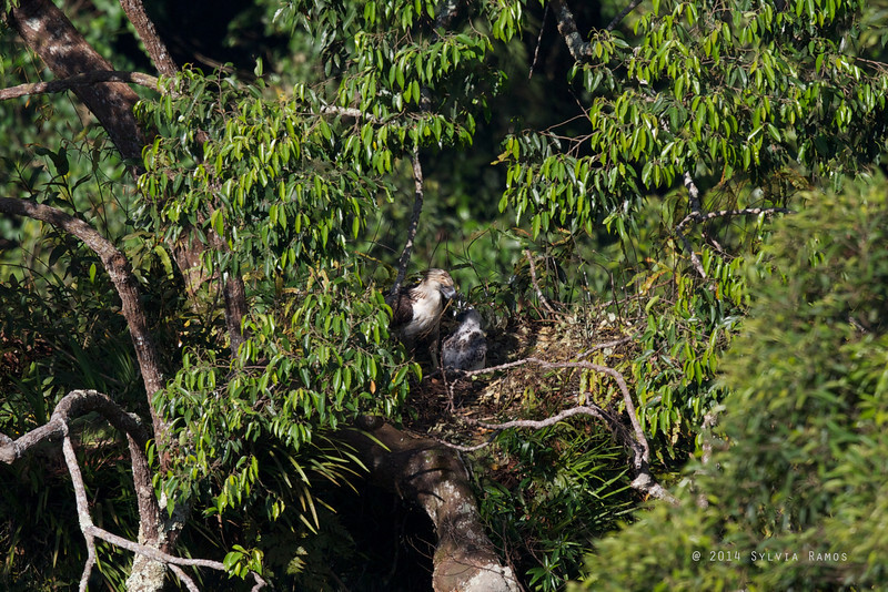 PHILIPPINE EAGLE <i>Pithecophaga jefferyi</i> Mt. Apo, Davao, Philippines  The presumed female tending to the nest. She flew into the nest without any food.