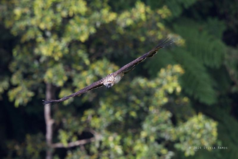 PHILIPPINE EAGLE <i>Pithecophaga jefferyi</i> Mt. Apo, Davao, Philippines
