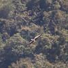 PHILIPPINE EAGLE <i>Pithecophaga jefferyi</i> Mt. Kitanglad, Bukidnon, Philippines