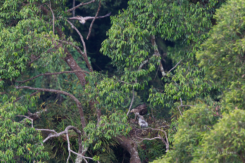 PHILIPPINE EAGLE <i>Pithecophaga jefferyi</i> Mt. Apo, Davao, Philippines  The female at upper left of the photo, about to enter the nest .