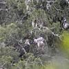 PHILIPPINE EAGLE <i>Pithecophaga jefferyi</i> Mt. Kitanglad, Bukidnon, Philippines 2009