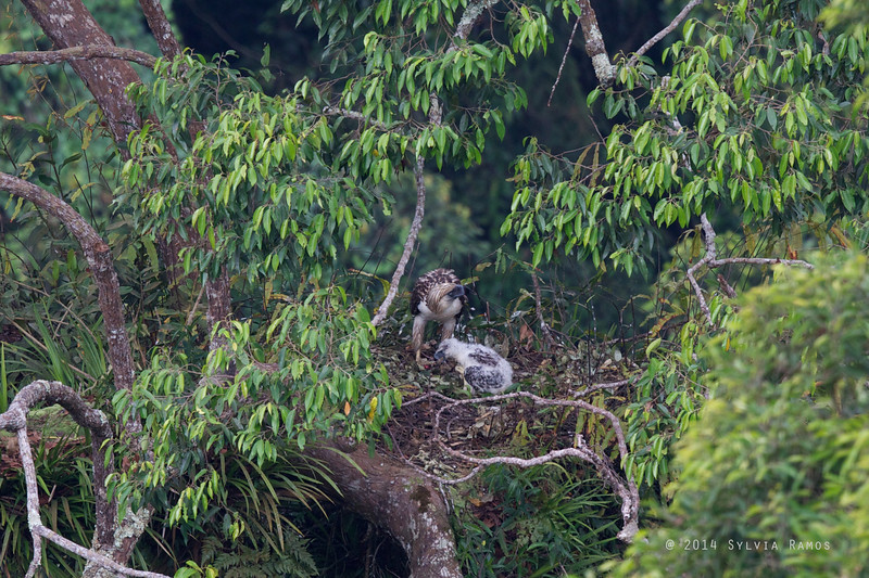 PHILIPPINE EAGLE <i>Pithecophaga jefferyi</i> Mt. Apo, Davao, Philippines  The presumed male brings prey and feeds the hatchling.