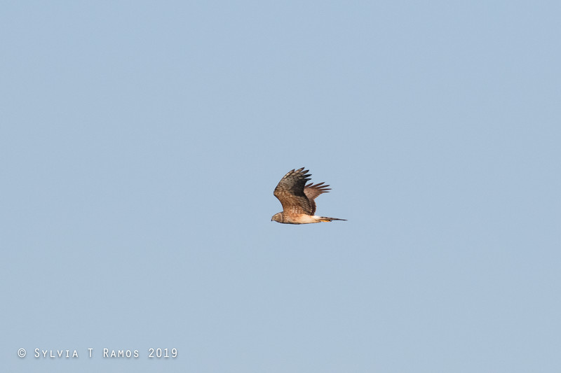PIED HARRIER