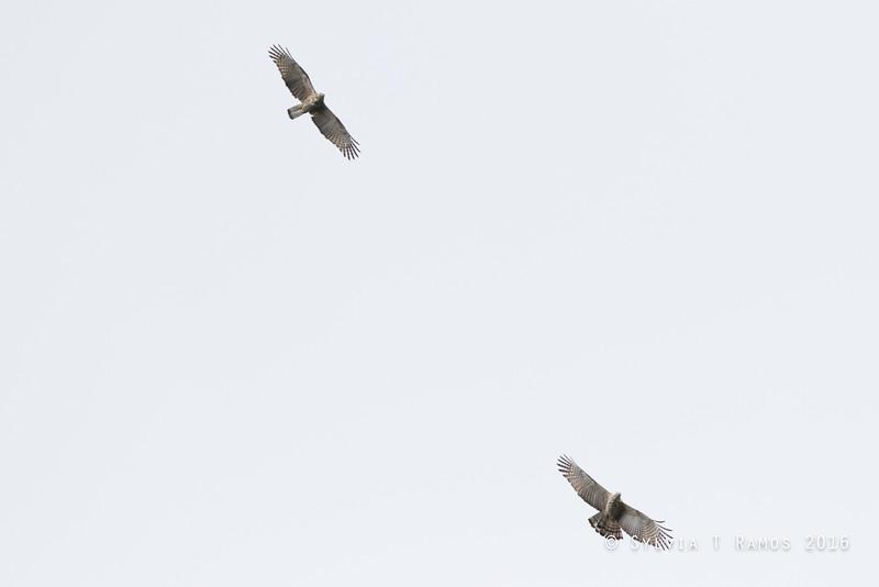 Pinsker's Hawk-Eagle
