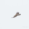 Pinsker's Hawk-Eagle
