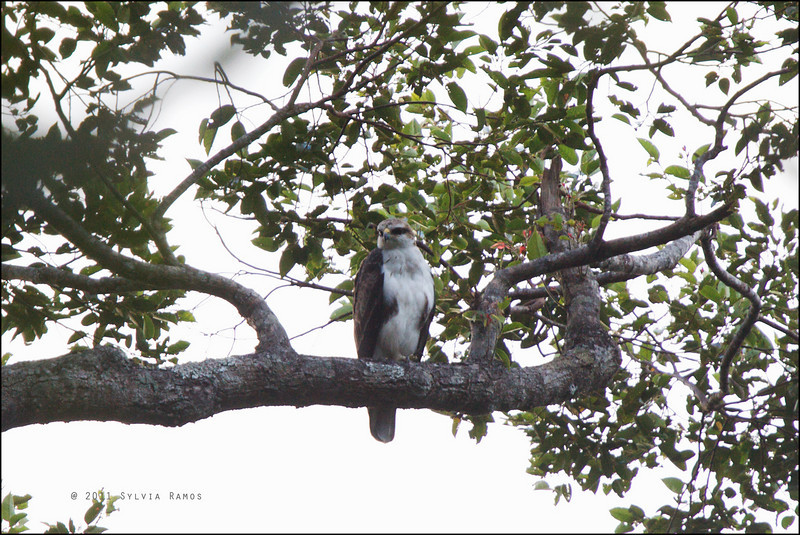 RUFOUS BELLIED HAWK-EAGLE <i>Lophotriorchis kienerii</i> Northern Sierra Madre, Luzon, Philippines
