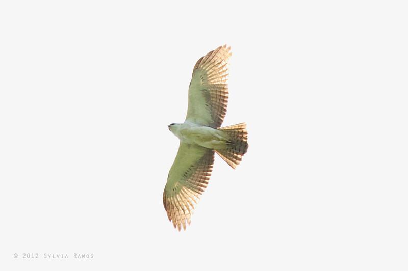 RUFOUS BELLIED HAWK-EAGLE, immature <i>Lophotriorchis kienerii</i> Subic Bay, Olangapo, Philippines
