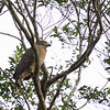 PHIIPPINE SERPENT EAGLE