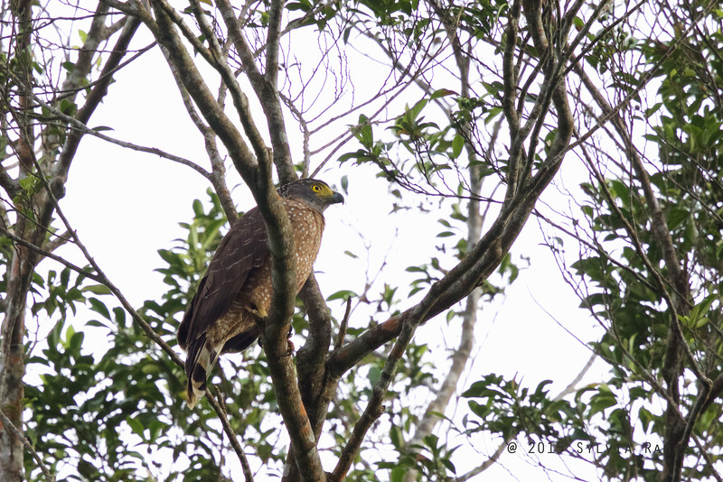 PHIIPPINE SERPENT EAGLE