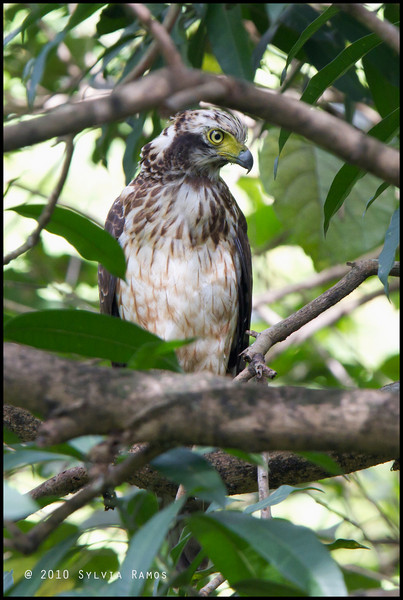 PHIIPPINE SERPENT EAGLE <i>Spilornis holospilus</i> UP Diliman, Quezon City, Philippines