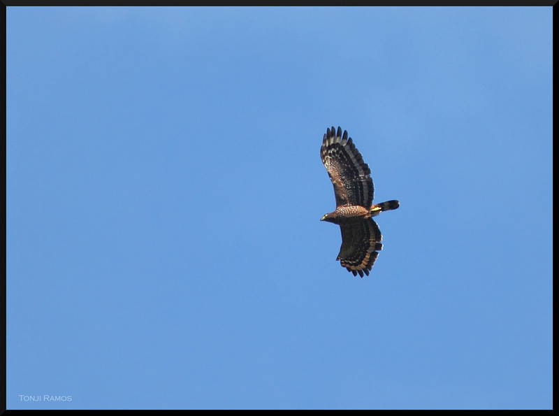 PHIIPPINE SERPENT EAGLE <i>Spilornis holospilus</i>