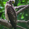 PHILIPPINE SERPENT EAGLE <i>Spilornis holospilus</i> UP Diliman, Quezon City, Philippines