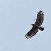 PHIIPPINE SERPENT EAGLE <i>Spilornis holospilus</i> Subic, Zambales, Philippines