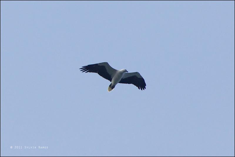 WHITE-BELLIED SEA EAGLE <i>Haliaeestus leucogaster</i> Batan, Batanes, Philippines