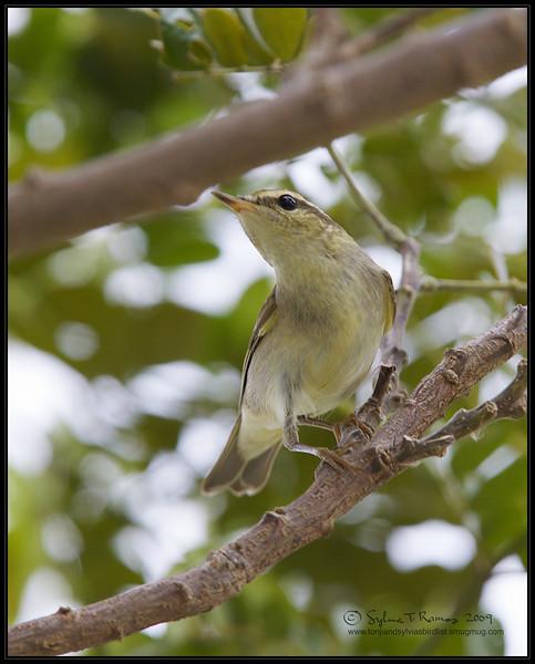 ARCTIC WARBLER <i>Phylloscopus borealis</i> Candaba, Pampanga  example of a first year bird