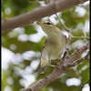 ARCTIC WARBLER <i>Phylloscopus borealis</i> Candaba, Pampanga  example of a first year bird