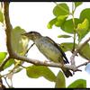 ARCTIC WARBLER <i>Phylloscopus borealis</i> Tara Island, Palawan