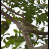 ARCTIC WARBLER <i>Phylloscopus borealis</i> Candaba, Pampanga