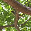 ARCTIC WARBLER <i>Phylloscopus borealis</i> Sierra Madre, Nueva Ecija