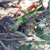 DUSKY WARBLER <i>Phylloscopus fuscatus</i> Candaba, Pampanga, Philippines